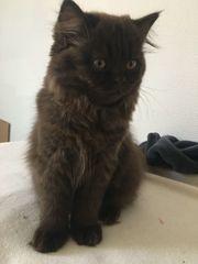 Bezaubernde BKH BLH Kitten suchen