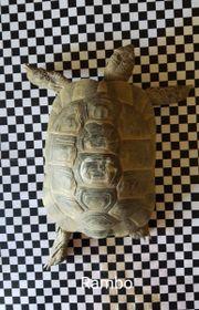 Zwei Maurische Landschildkröten an guten