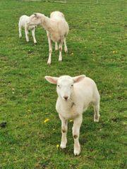 Schafe Muttertier mit Lämmer abzugeben