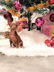 russkiy toy Terrier Welpe Reinrassig