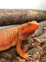 Rotes Bartagamen Weibchen ausgewachsen mit