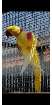 suche große alexandersittich in gelb
