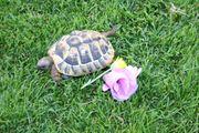 griechische Landschildkröte 5 Jahre alt