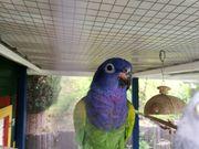 Schwarzohr Papagei