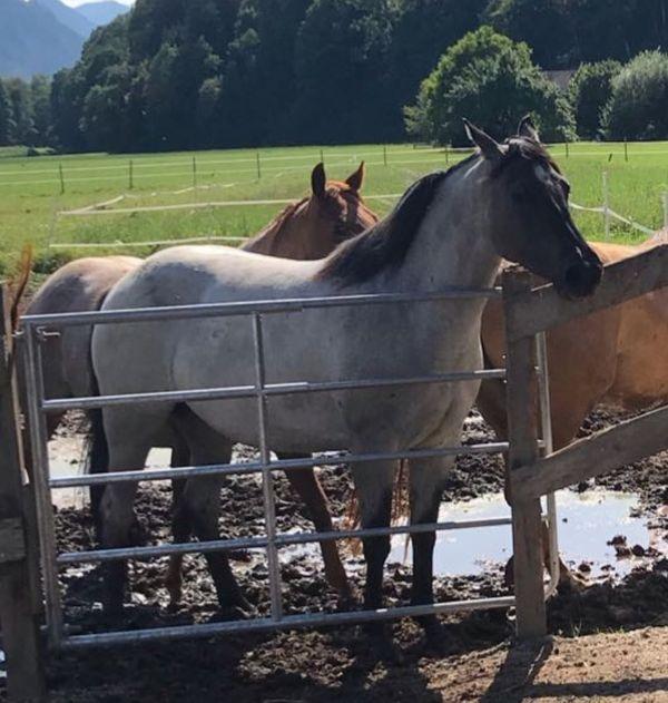 Grullo Roan Quarter Horse Stute