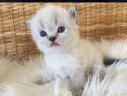 Wurfankündigung Perser Kitten Colourpoint