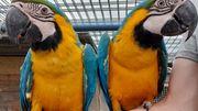 Gelbbrustara Pärchen Papagei
