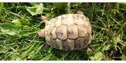 Naturbrut 2019 Griechische Landschildkröte Testudo