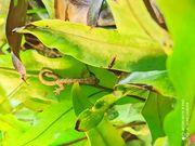 Jungferngeckos