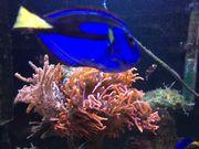 Palettendoktorfisch