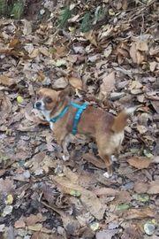 Tibbi Chihuahua Mix Rüde