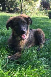 BRUNO - 5 Monate alt Schäferhund-Mischling