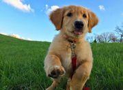 Süßer Welpe des goldenen Apportierhunds