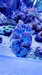 Meerwasser Muschel Korallen und Zubehör