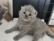 Bkh Blh Scottish fold