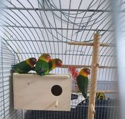 3 pfirsichköpfchen mit käfig