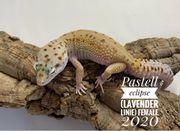 Leopardgecko Lady