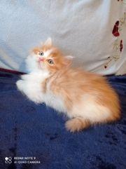 süße MainCoon-Mix Kitten