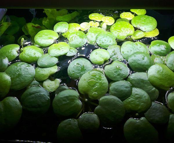 Schwimmpflanzen/Froschbiss