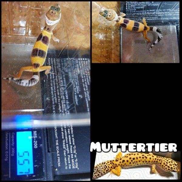 Leopardgeckos aus Hobbyzucht abzugeben