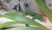 Pfauenaugen-Taggecko Phelsuma quadriocellata