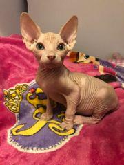 Kitten Sphynx Bambino long mit