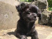 Chihuahua Welpe Langhaar reinrassig