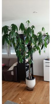 Glückskastanie Pflanze Höhe 220cm