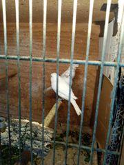Canarino Bianco xxl dal 21