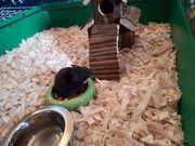 Verkaufe Hamster mit Zubehör