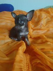 Russkiy mini Toy Terrier Welpe