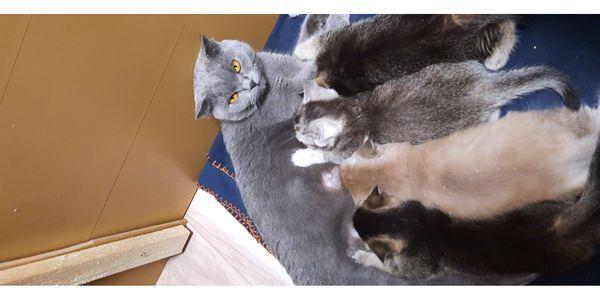 BKH Kitten Katzen