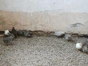 Chinesische Zwergwachtel Naturbrut Männchen Weibchen