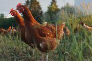 Braune Junghennen Hühner zu verkaufen