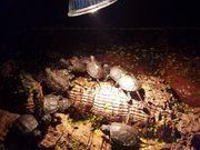 Sumpfschildkröten-Emys Orbicularis