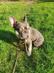 französische bulldogge 2 jahre rüde