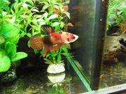 Betta Splendens Kampffische