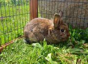 Zwergkaninchen - Kaninchen - Hase