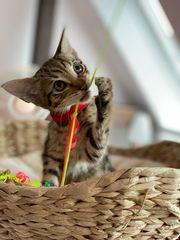 Wunderschöne Savannah F3 kitten