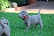 Silber Labrador welpen aus HD-ED-PL-