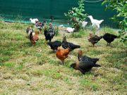 Hühner Hähne Hennen Hahn Blumenhühner