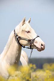 liebe Cremellostute Quarter Horse geeignet