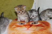BKH kitten Silver classic golden