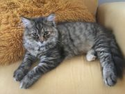 Reinrassige Sibirische Katzen