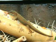 Lygodactylus williamsi Himmelblauer Zwergtaggecko 0