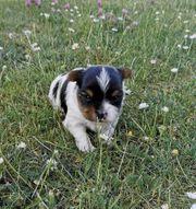 Biewer Yorkshire Terrier a la