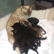 Kitten von Burma