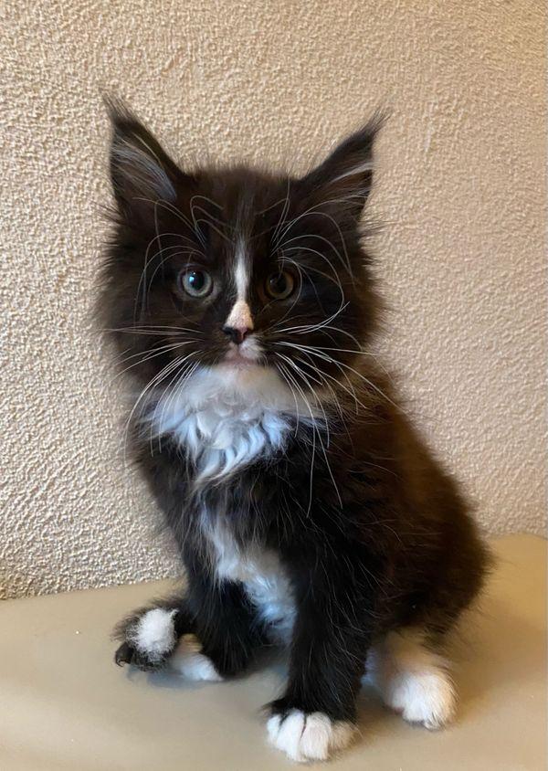 Maine coon Kitten Katzenbabys