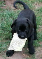 3 Labrador Welpen ab abzugeben