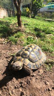 Suche eine weibliche Landschildkröte